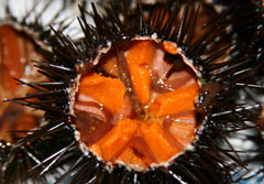 Sea urchins are a delicatesse