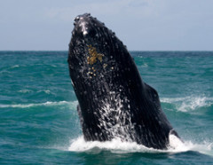Whales can be seen in the Caribbean